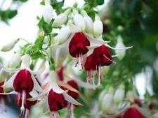Fuksia - Hermiena * siemeniä * Shade Flowers, Flowers Nature, My Flower, Beautiful Flowers, Fuchsia Plant, Rainbow Garden, Belle Plante, Unusual Flowers, Container Flowers