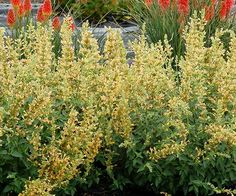 The Kudos series of hyssops features dwarf varieties with loads of flowers that attract butterflies and hummingbirds. Each stem is densely budded and well-branched, guaranteeing weeks of ongoing color from vibrant, tubular flowers. To top it all off, 'Kudos Yellow' is resistant to downy mildew, retaining its aromatic leaves throughout the growing season even if conditions get a little too wet. On the flip side, it's also very drought-tolerant. Plant Name: Agastache 'Kudos Yellow' Growing…
