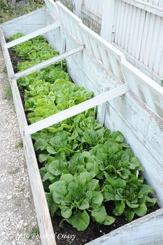Cold frames are a time-honored way to grow leafy greens over the winter and to start seedlings in the spring in cold climates...this would keep the rabbits and deer from eating it too!