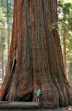 Stem of General Sherman - a giant sequoia tree located in the Giant Forest of Sequoia National Park in U. state of California. By volume, it is the largest known living single-stem tree on Earth. Giant Tree, Big Tree, Giant Sequoia Trees, Unique Trees, Sequoia National Park, Old Trees, Tree Forest, Belleza Natural, Land Art