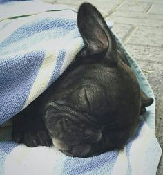 Good morning and Happy New Year, from Coconut the French Bulldog Puppy ☉ @coco.nut.thefrenchie