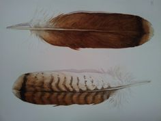 Red Tailed Hawk Feather Painting - original watercolor painting. $150.00, via Etsy.