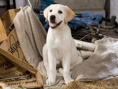 I want a Lab