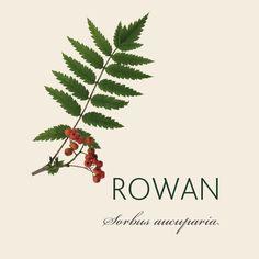 Mountain Ash Tree, Tree Branch Tattoo, Happy Images, Celtic Mythology, Celtic Tree, Tree Leaves, Tree Art, Rowan, Tree Of Life