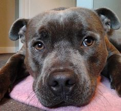 17 Things All Staffordshire Bull Terrier Owners Must Never Forget More