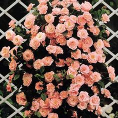 Ideal for all garden and will flower all summer long. Climbing roses. Varieties include: Danse de Feu (red), Albertine (pink), Penny Lane (cream)