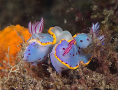 https://flic.kr/p/21oejUA | Season of nudi love #marineexplorer | It's the season of nudibranch love, with several mating pairs spotted at Bare Island this week, including Bennett's, Sweet ceratosoma, Woodward's, Thompson's and Blue dragons.