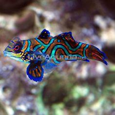 Saltwater fish on pinterest salt water fish salt water for Saltwater fish for small tank