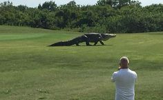 The Buffalo Creek Golf Course has apparently clued into this fact by recruiting what may be the most terrifying mascot in sports history.  A giant gator that's been roaming the grounds of the small course in Florida for years has recently become a local attraction for residents and tourists in the area