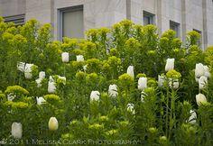 Love the tulips against the euphorbia--unusual.