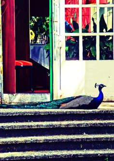 """Title: """"Proud guard"""". When I saw a peacock before the doors thought that he watched it over or paraded."""