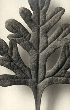 Karl Blossfeldt (1865-1932) botanical fine art photographer - Teucrium Botry Photography Gallery, Fine Art Photography, White Photography, Karl Blossfeldt, Flora, Gothic Garden, White Plants, Organic Art, Green Earth
