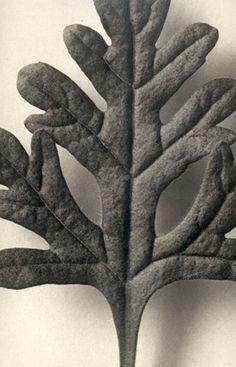 Karl Blossfeldt: Teucrium Botry