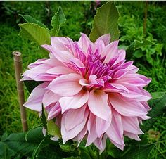Dahlia I had a lot of these given to me by my cousin Laurie, all gone now after surgery my yard wasn't cared for oxox