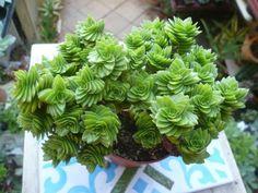 Crassula 'Estagnol' - See more at: http://worldofsucculents.com/crassula-estagnol