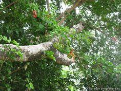 Цветы и прочие растения Кубы. Abarema cochliacarpos плодики (Личные)