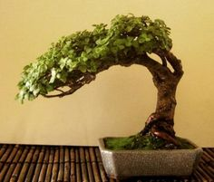 About The Bonzai Tree Terrarium Plants, Bonsai Plants, Bonsai Garden, Garden Plants, Bonsai Tree Types, Indoor Bonsai Tree, Mini Bonsai, Jade Bonsai, Potted Trees