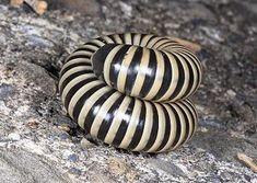 Spirobolus bungii, Millipede from Thailand