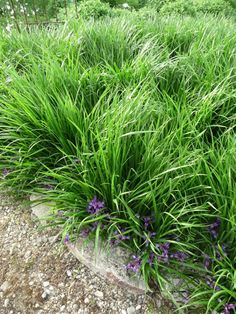 Plante vivace couvre-sol - Iris graminea (mi-ombre)