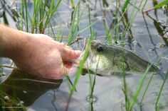 Achigãs suspensos - causas e soluções | BASSPT.com - pesca ao achigã