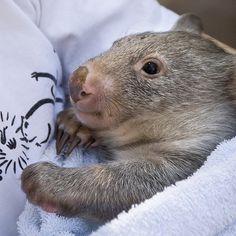 wombat - oh my! Happy Animals, Animals For Kids, Cute Baby Animals, Sleepy Animals, Wild Animals, Cute Wombat, Baby Wombat, Mundo Animal, My Animal
