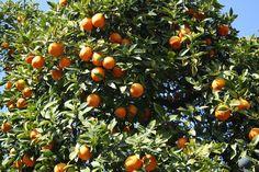 Sevilla: Naranjo