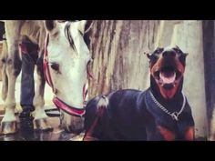 """WOOF WATCH: This Doberman Has Come to be Known as the """"Horse Whisperer""""   WOOFipedia by The American Kennel Club"""