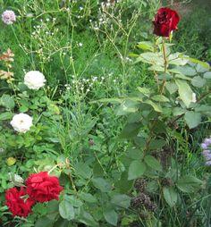 Магия темно-бордового бархата - розы сорта Black Magic. Розы для леди.