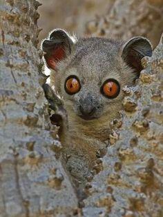 Diertje uit Madagaskar