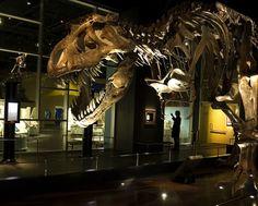 Tyrannosaurus Rex at @Royal Tyrrell Museum, Alberta.