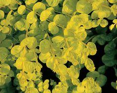 Goldilocks Creeping Jenny (perennial):  Planted in West Garden in 2012
