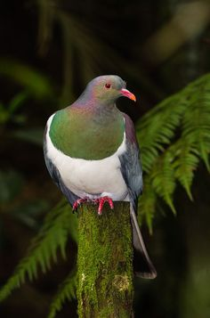 New Zealand Pigeon - Andy Trowbridge Bird Pictures, Pictures To Paint, Wood Pigeon, List Of Birds, Nature Story, Dove Bird, Kiwiana, Colorful Birds, Wild Birds
