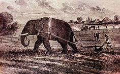 P.T. Barnum had an elephant plow the field of his home in Bridgeport, Connecticut as a publicity stunt. -- CT. News. Com  Phineas Taylor Barnum (1810 – 1891) was an American showman, businessman, scam artist and entertainer. He founded the circus that became the Ringling Bros. and Barnum & Bailey Circus, -- Wikipedia