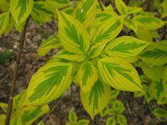 variegated five leaf aralia | Cornus alternifolia 'Golden Shadows' (variegated pagoda dogwood)