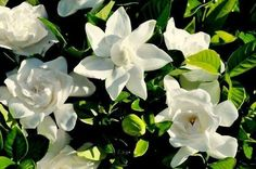 Gardenia jasminoides Jasmim do Cabo ou Gardênia