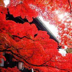 2d701294e74 真如堂の本堂前の紅葉🍁です。 今年は真っ赤に染まり綺麗でした。 落葉も始まっています。  Japan Kyoto sinnyodo   temple autumnleaves  京都 真如堂