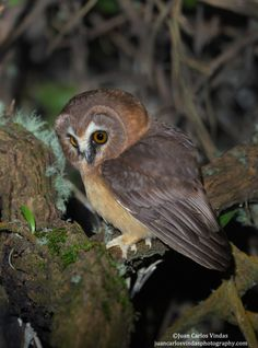 Unspotted Saw-whet Owl (Aegolius ridgwayi) by Juan Carlos Vindas