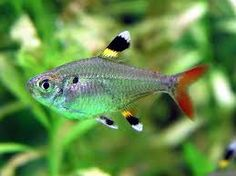 Pristella Tetra, aka X-ray tetra (I'm not sure why that is). Good in schools of 8 or more, and a good community fish.