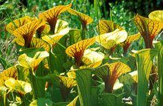Tu Sarracenia gusta de estar en un lugar luminoso, siempre que no esté expuesta al sol ardiente del mediodía. Por lo demás esta planta carnívora puede vivir en cualquier parte: en el estanque, la orilla, la terraza, el jardín y por supuesto también en casa.