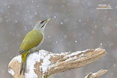 https://flic.kr/p/21BusTQ | Grey-headed Woodpecker | Picus canus, Picchio cenerino - Gray-headed Woodpecker  Bialowieza NP, Poland