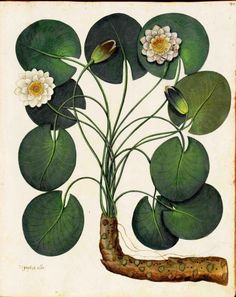 Water lilly. Botanical illustration, medieval Italy by Ulisse Aldrovandi.