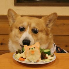 Konatsu enjoying her Corgi shaped birthday cake. Konatsu, a beloved Pembroke Welsh Corgi who lives in Japan with her HuMom, Kasumi.