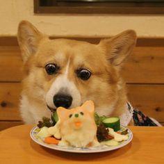 Konatsu enjoying her Corgi shaped birthday cake. Konatsu, a beloved Pembroke Welsh Corgi who lives in Japan with her HuMom, Kasumi.