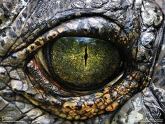 The 2014 Crocodile Festival will take place in the East Sepik Province, August Crocodiles are part of the Sepik heritage. Men and crocodiles share a special bond. The Crocodile symbolizes strength, power and manhood. Crocodile Eyes, Nile Crocodile, Crocodile Tattoo, Photo Oeil, Lizard Eye, Reptile Eye, Reptile Scales, National Geographic Animals, Eyes Wallpaper