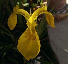 Yellow iris flower - How to grow  http://www.growplants.org/growing/yellow-iris