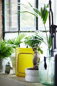 Blick auf eine Fensterbank mit verschiedenen Topfpflanzen und Vasen, u. a. FICUS MICROCARPA GINSENG Pflanze mit Übertopf, Bonsai in verschiedenen Farben