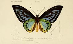 gravures couleur d'insectes - dessin insectes 0173 papillon ornithoptere de durville - ornithoptera urvilliana - Gravures, illustrations, dessins, images
