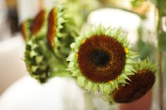 """Green"" Sunflowers -  Ordinary sunflowers that are past their peak and simply have the wilted yellow petals removed"
