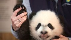 National Zoo prepares for debut of adorable giant panda Baby Panda Bears, Baby Pandas, Cute Baby Animals, Animals And Pets, Wild Animals, Wildlife Photography, Animal Photography, Tiger Cubs, Tiger Tiger
