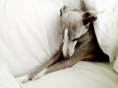 Bella the Italian Greyhound. She looks just like our Bella.